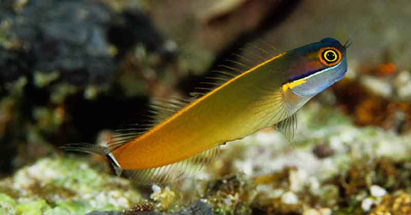 Blennies Ikan hias air laut cantik