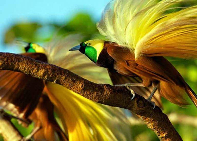Cendrawasih Burung Tercantik di Dunia