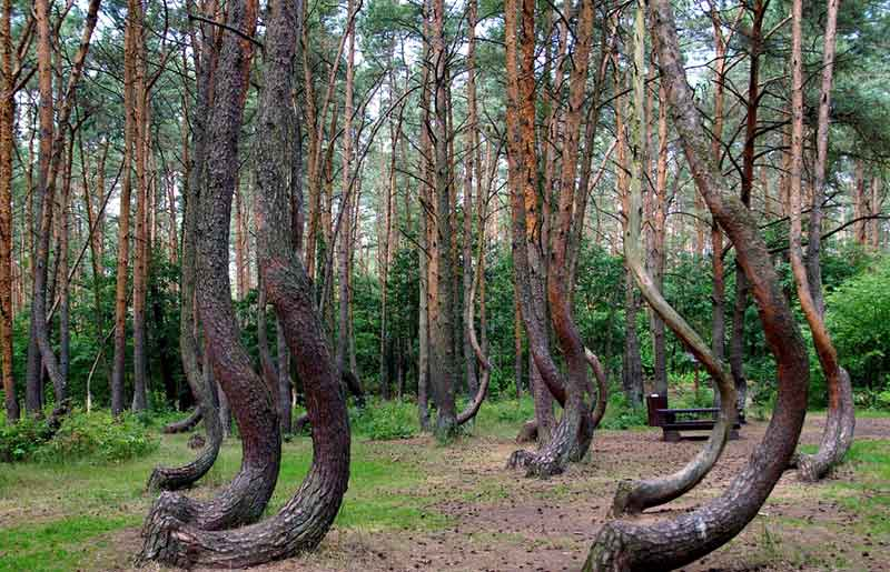 Crooked Forest Tempat Misterius di Dunia