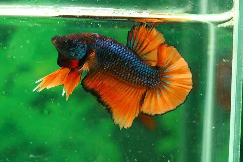 Cupang Ikan Hias Cantik Tapi Murah