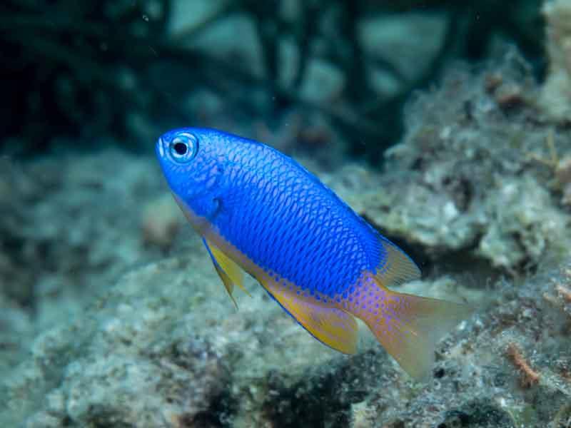 Damselfish Ikan hias air laut cantik