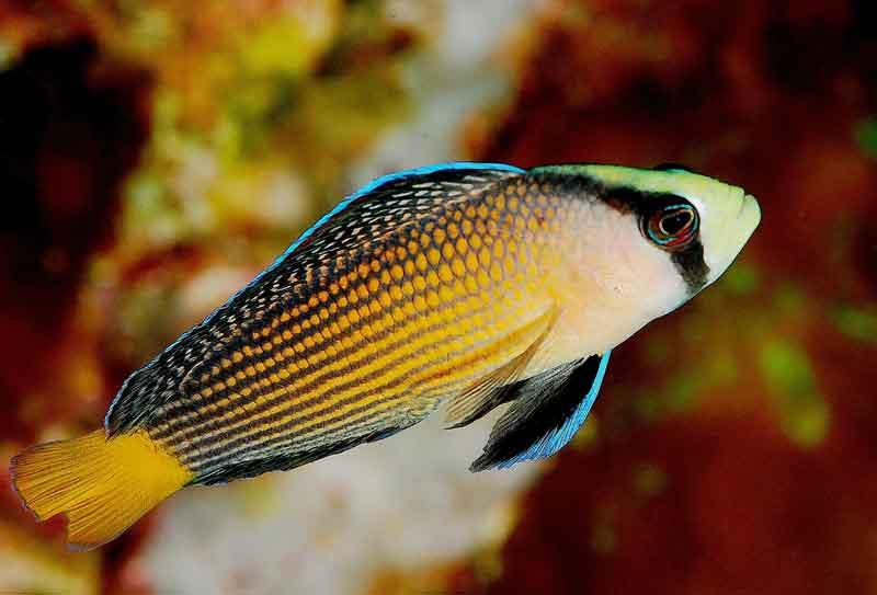 Dottyback Ikan hias air laut cantik