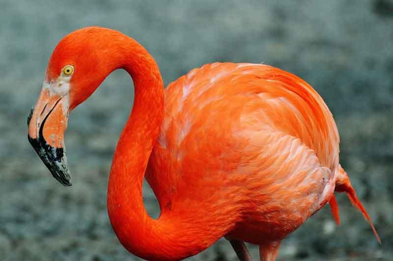Flamingo Burung Tercantik di dunia