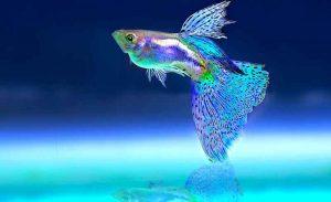 10 Ikan Hias Air Tawar yang Bisa Hidup Tanpa Aerator