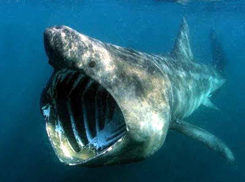 Hiu Megamouth makhluk laut dalam