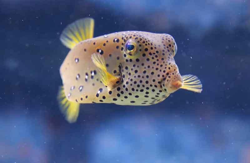 Ikan-Buntal