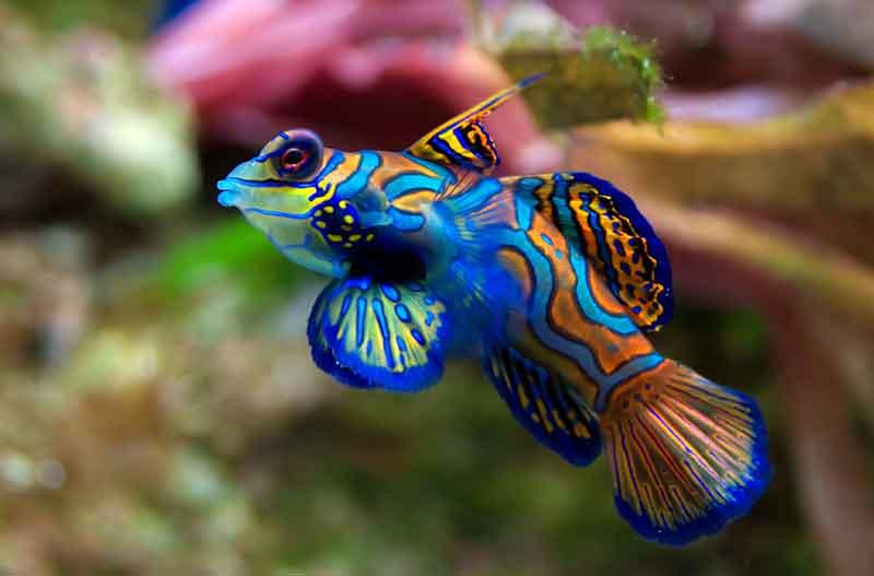 Ikan-Mandarin