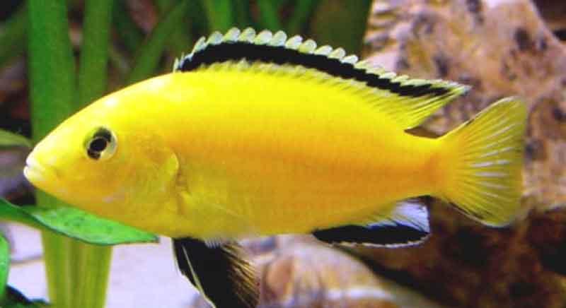 Ikan-lemon
