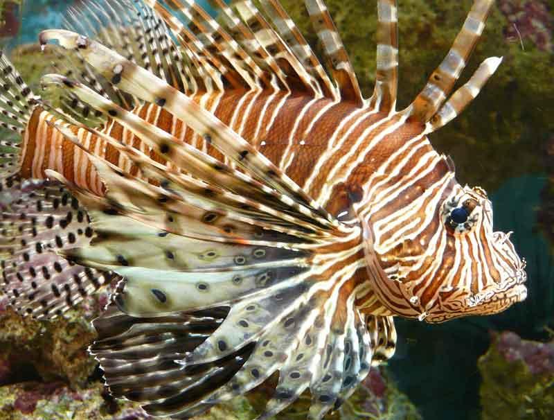 Lionfish Ikan Paling Berbahaya