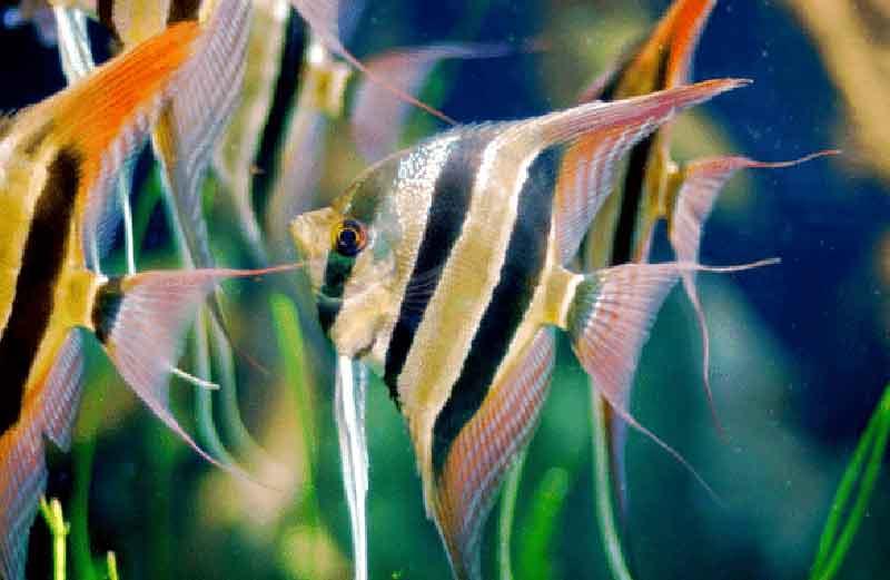 Manfish Ikan Hias Cantik Tapi Murah
