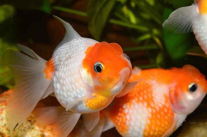 Maskoki ikan hias cantik tapi murah