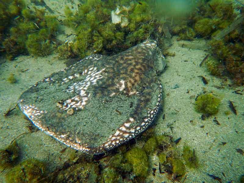 Pari Listrik Ikan Paling Berbahaya