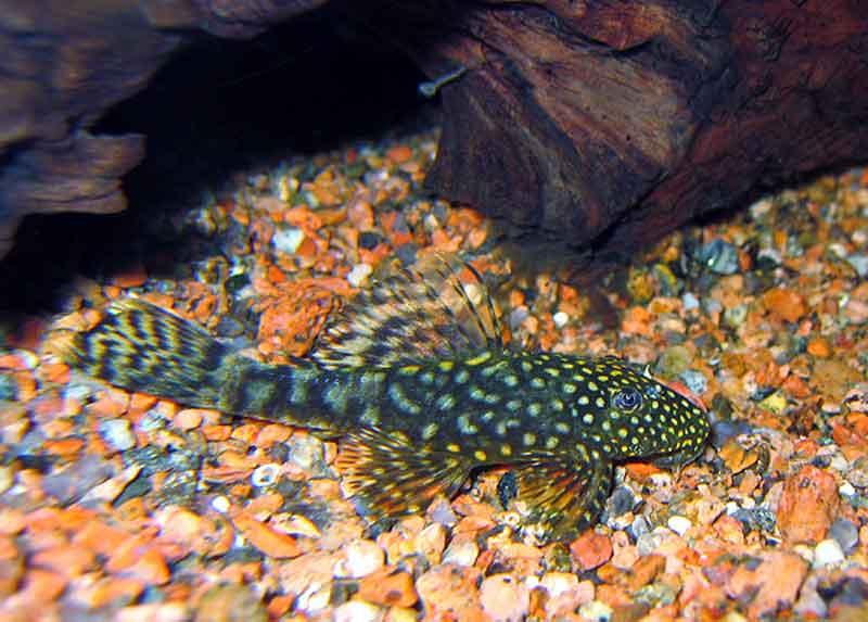 Pleco Ikan yang bisa hidup tanpa aerator