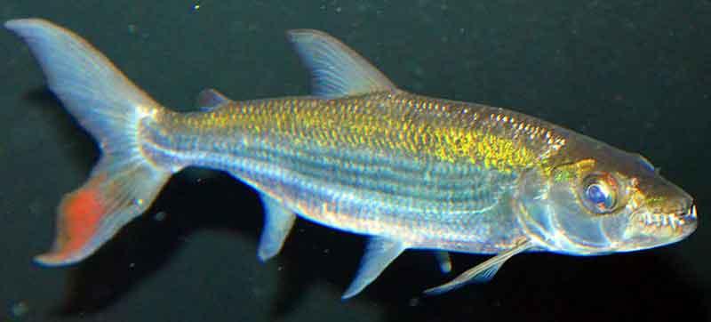 Tiger-Fish