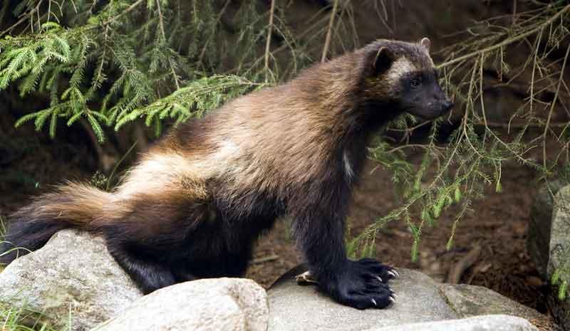 Wolverine Hewan Lucu Tapi Berbahaya