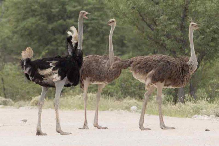 Burung Unta Terbesar di Dunia