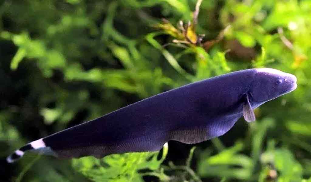 Cara memelihara ikan black ghost