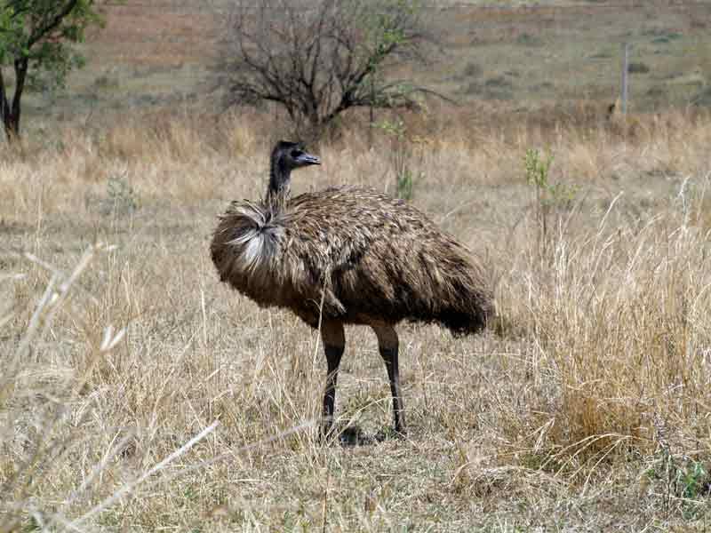 Emu burung terbesar