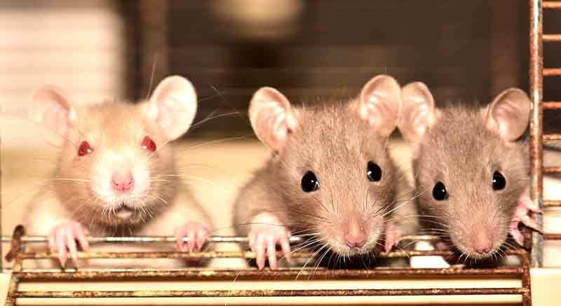 Fakta Menarik Tentang Tikus