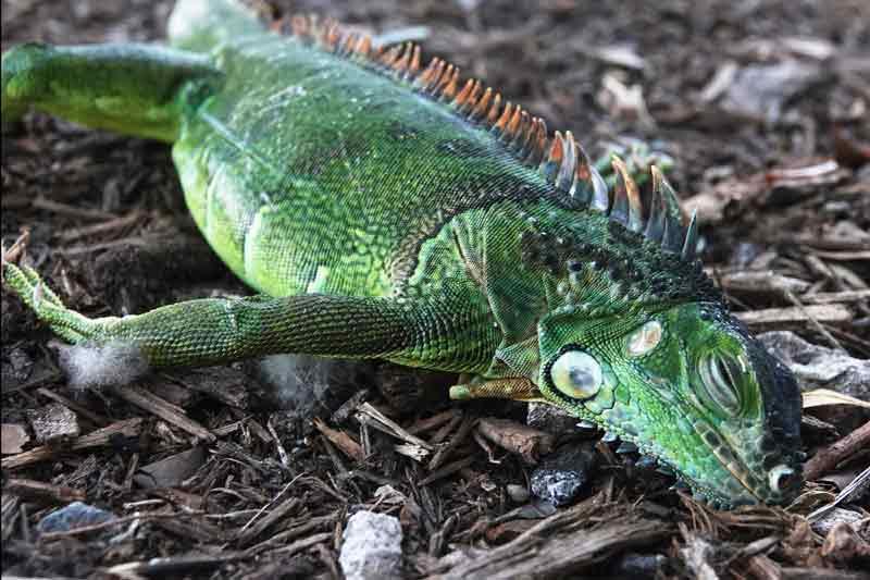 Hujan-Iguana