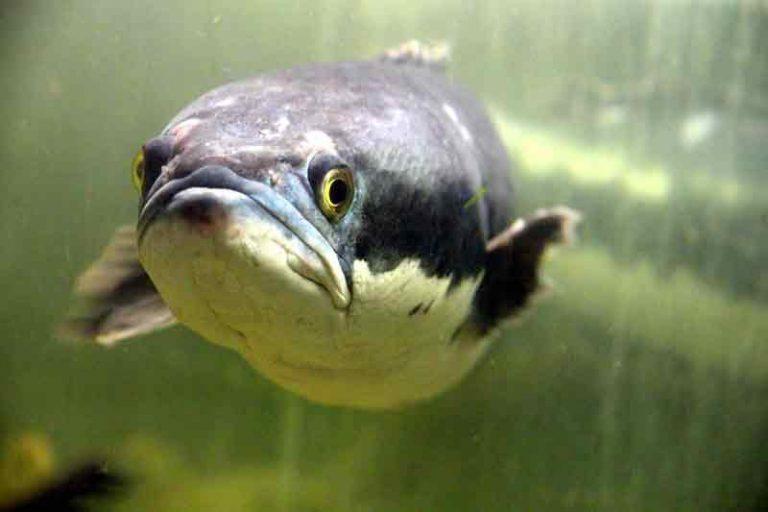 ikan gabus toman
