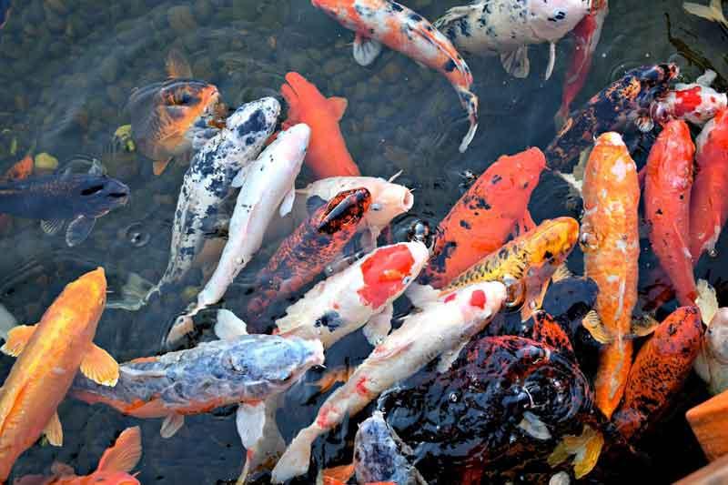Ikan Koi Hewan Berumur Panjang