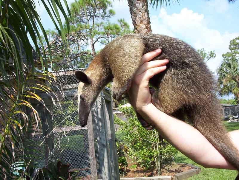 Lesser Anteater hewan paling bau
