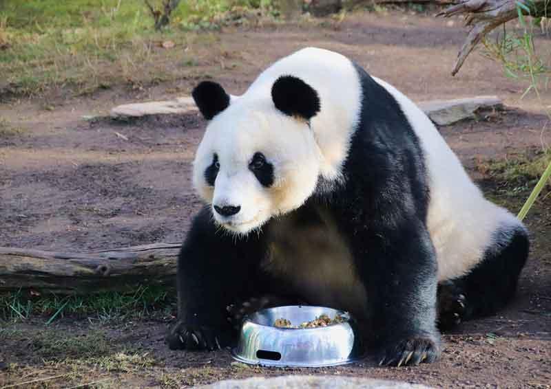 Panda Gambar Hewan lucu