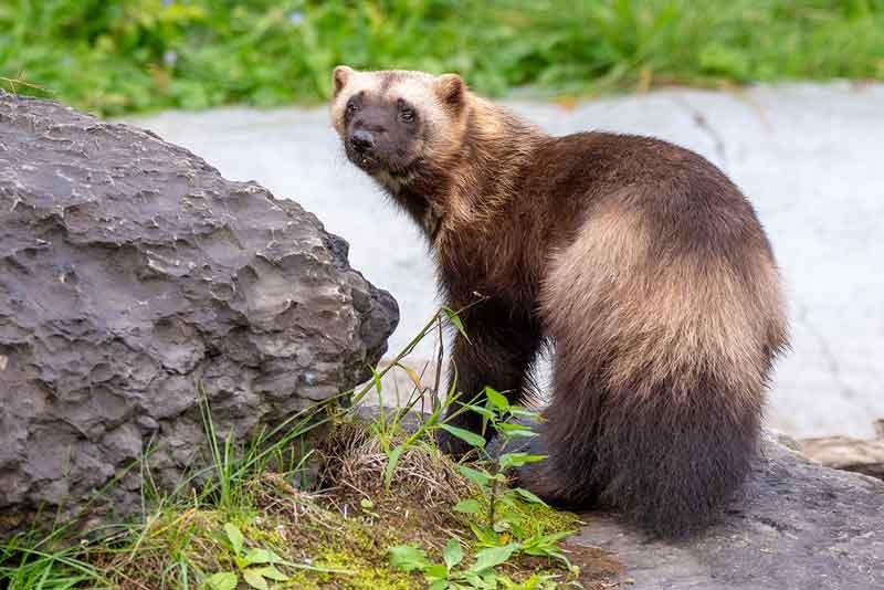 Wolverine hewan bau