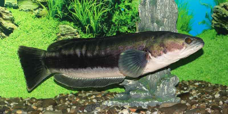 cara memelihara ikan gabus toman