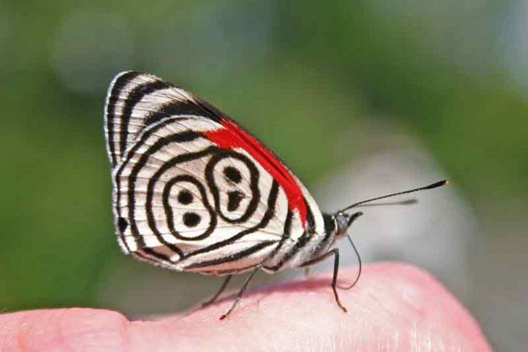 Gambar kupu-kupu cantik dan indah eighty eight