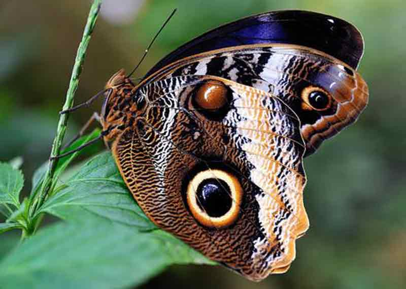 Kupu-kupu Burung Hantu Raksasa