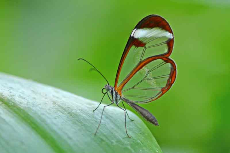 Gambar kupu-kupu cantik dan indah Glasswinged Butterfly