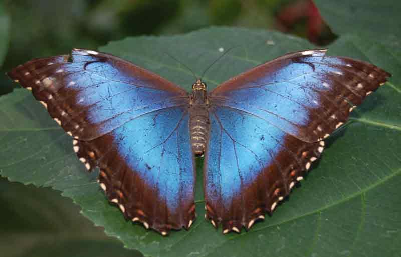 gambar Kupu-kupu blue morpho