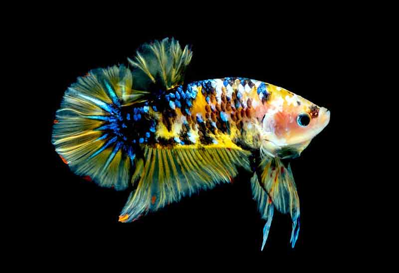 Makanan Terbaik untuk Ikan Cupang