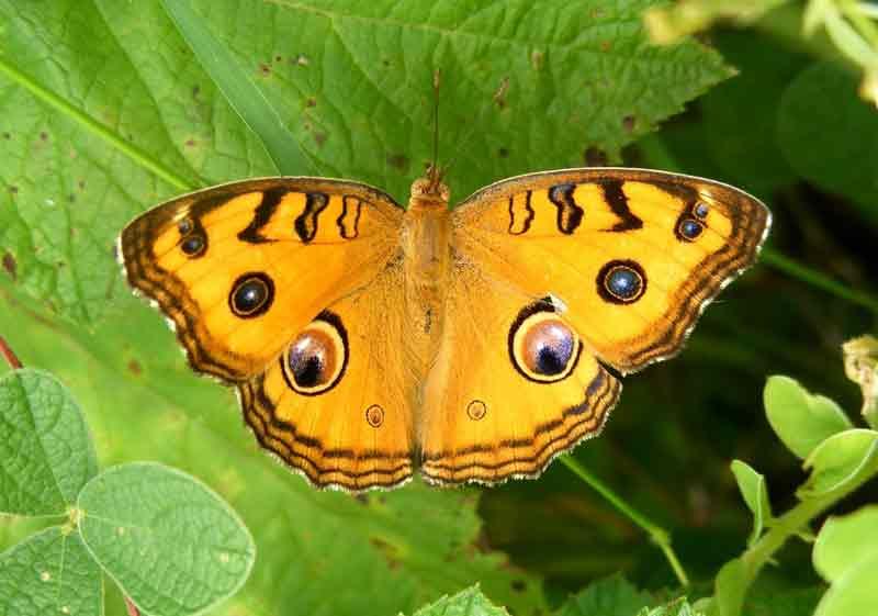 Gambar Kupu-kupu Peacock Pansy