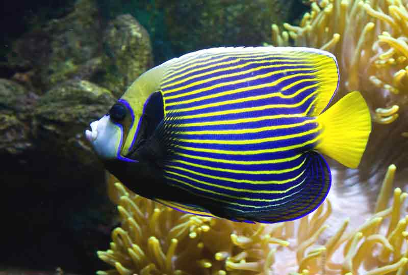 Emperor angelfish angel batman