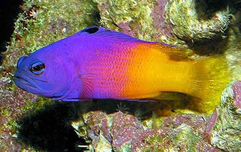 Ikan Royal Gramma