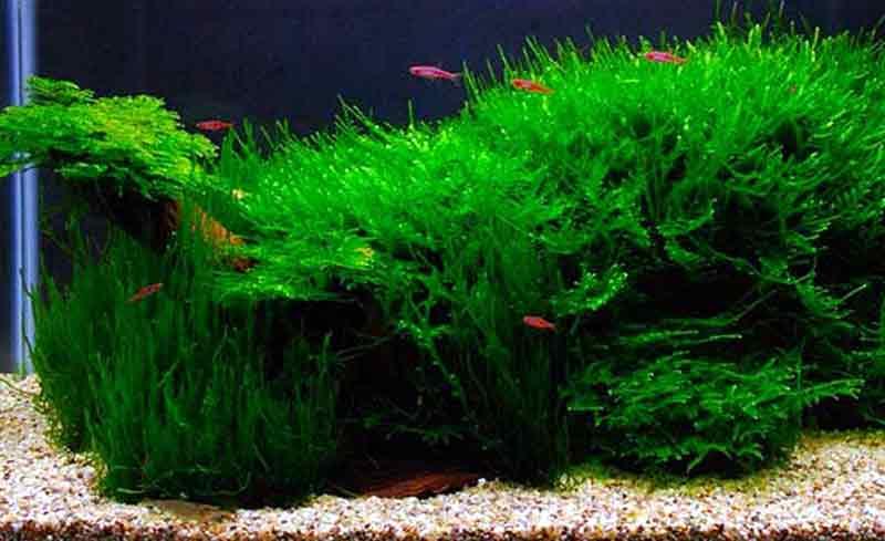 Java Moss Tanaman Air untuk Ikan Cupang