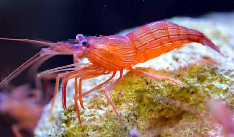Peppermint Shrimp Udang Cantik