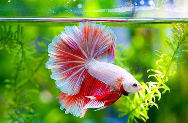 Tanaman Air untuk Aquarium Ikan Cupang