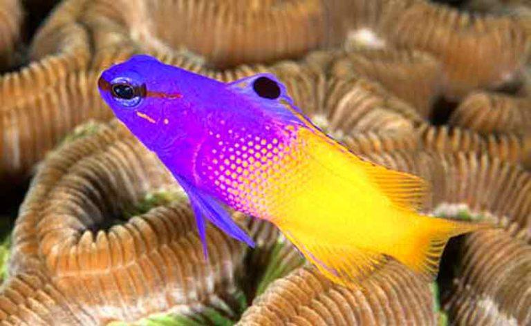 cara memelihara ikan royal gramma