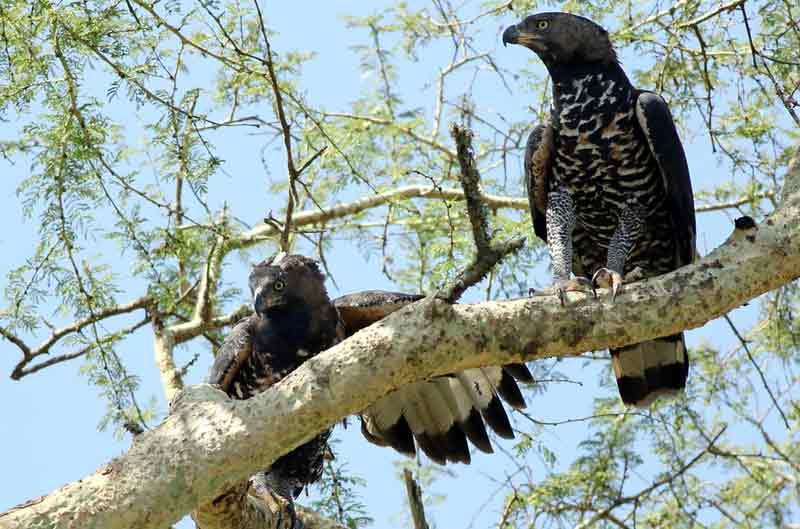 African Crowned Eagle Burung Paling Berbahaya