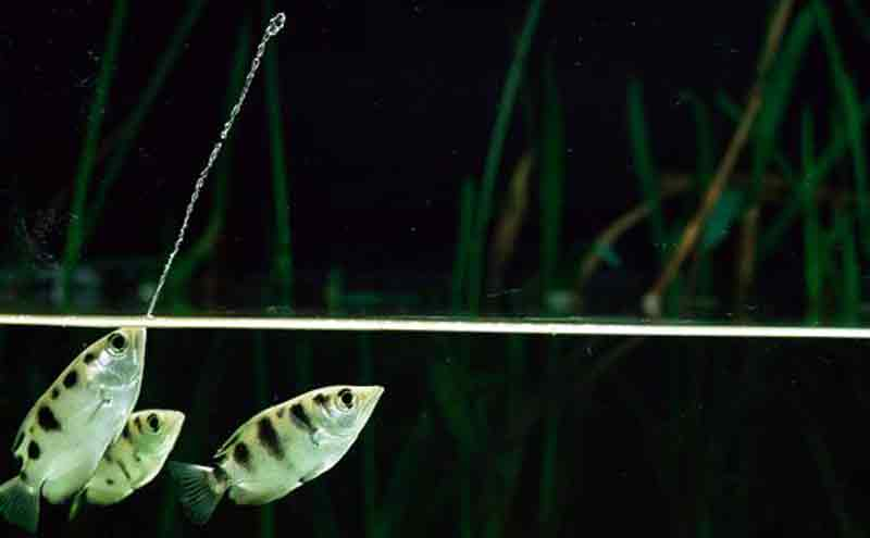 Cara Memelihara ikan sumpit