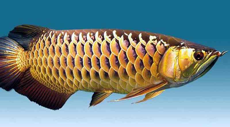 Makanan Terbaik untuk Ikan Arwana