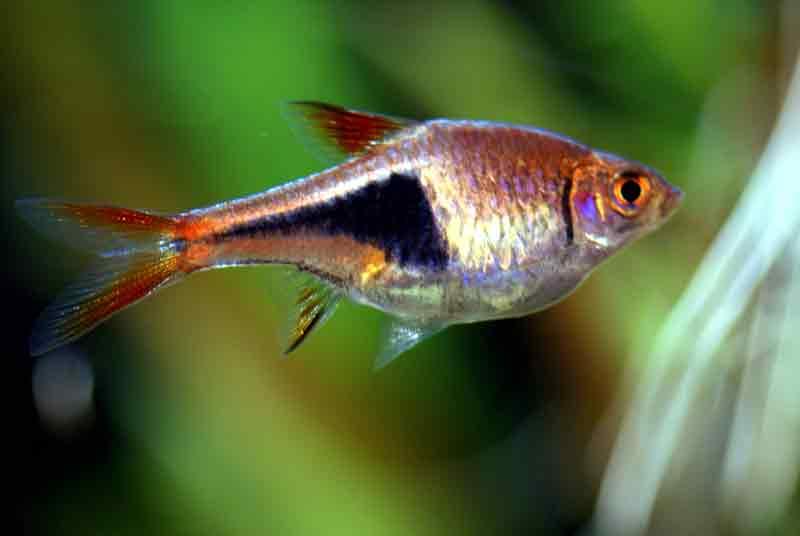 Mengenal Ikan Harlequin Rasbora dan Cara Memeliharanya